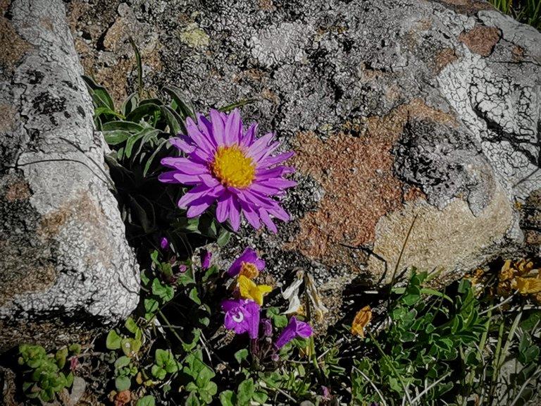 fioritura astro alpino