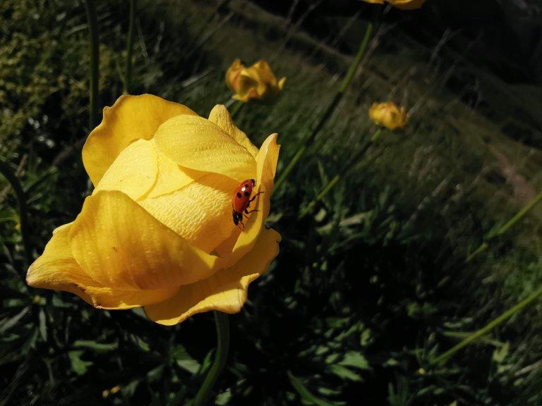 fioritura botton d'oro