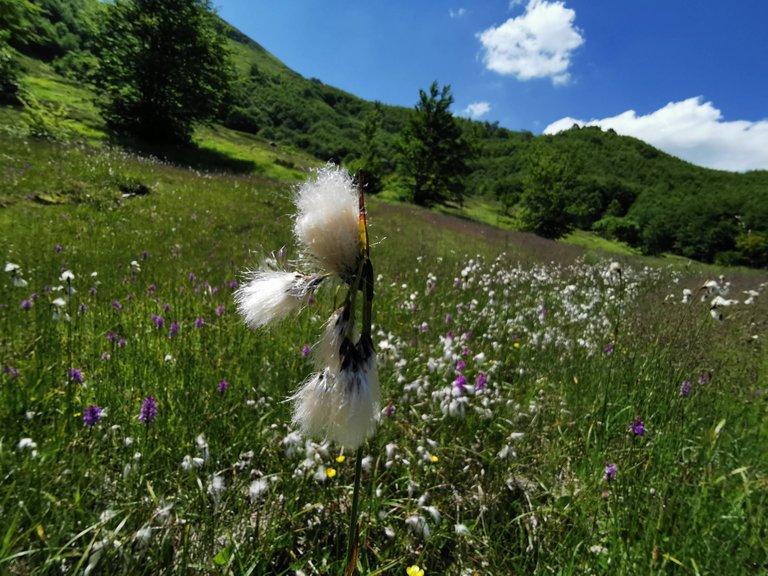 fioritura erioforo