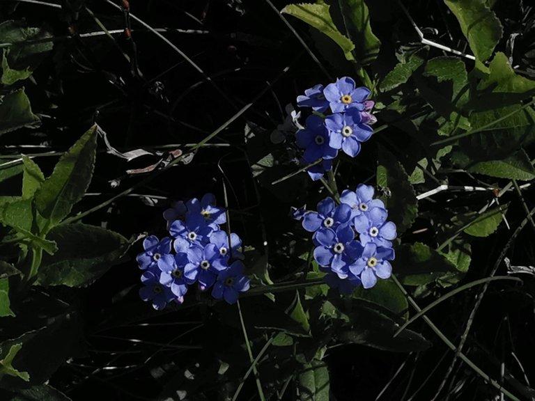 fioritura non ti scordar di me