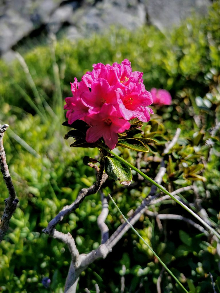fioritura rododendro ferruginoso