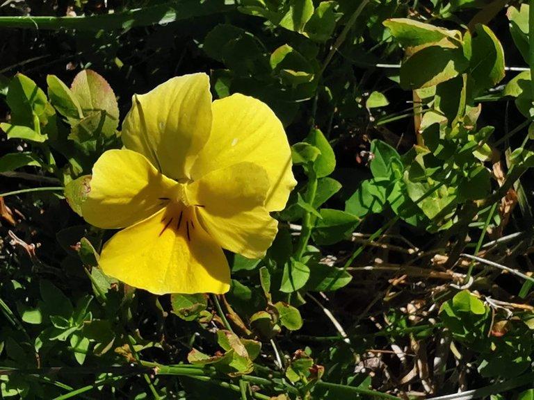 fioritura viola gialla calcarata