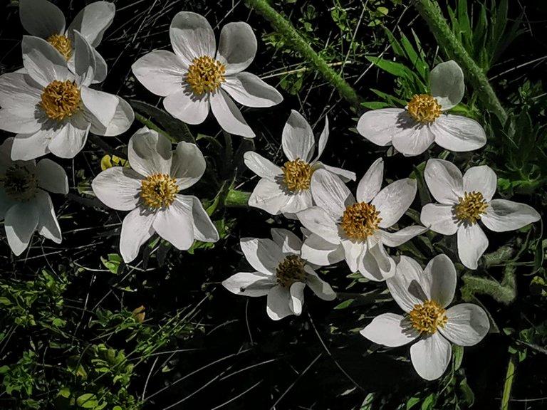 fioritura anemone di narciso