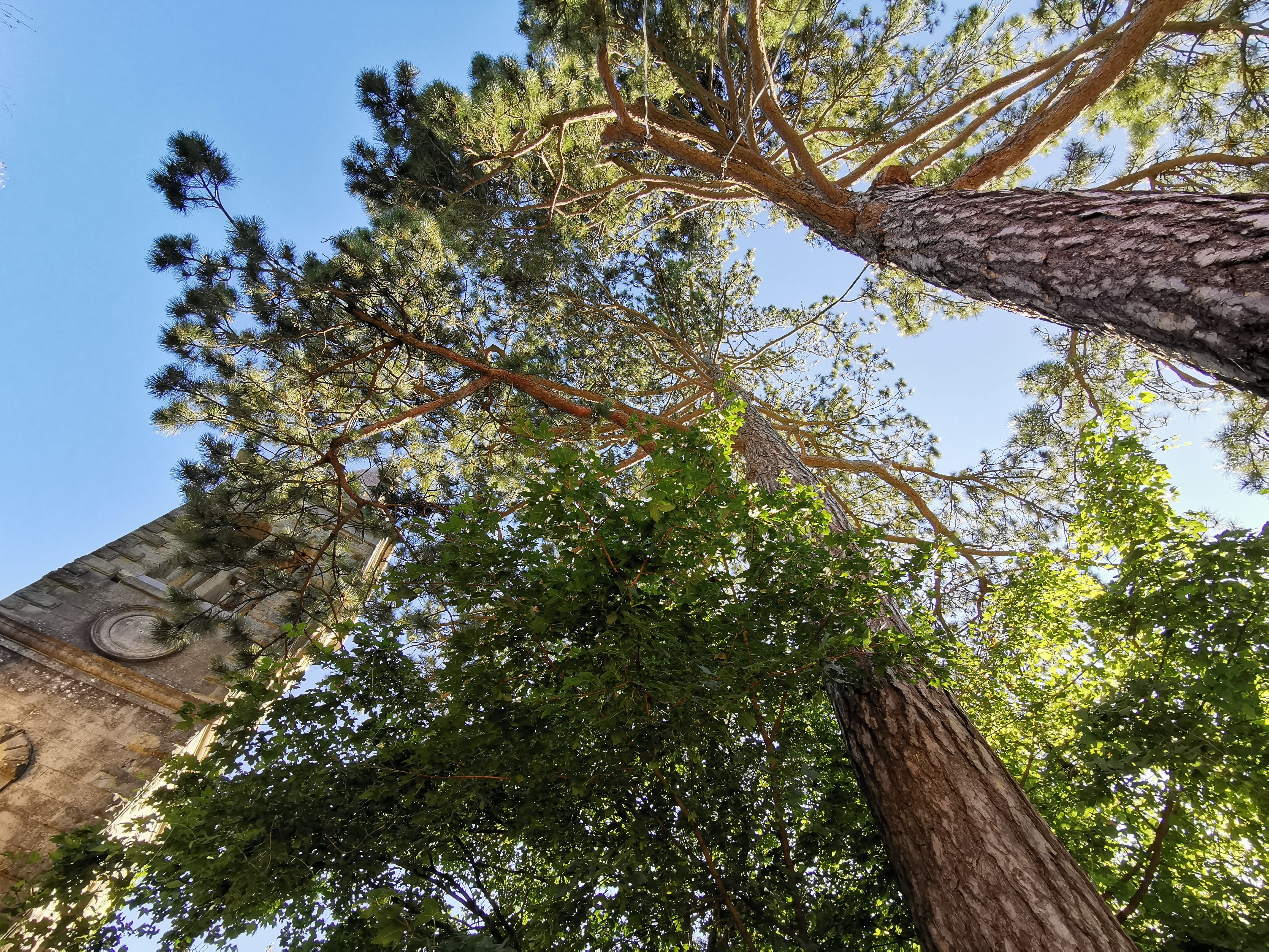 Campanile di Campanara e pini secolari